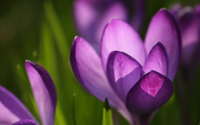 High-resolution desktop wallpaper Crocus by Akont