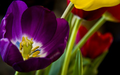 High-resolution desktop wallpaper A Tulip's Voice by Natalie Parker