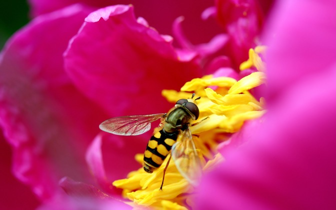 High-resolution desktop wallpaper Syrphid Fly by Niels Strating