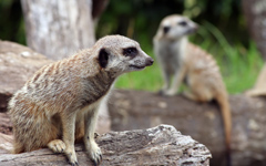 High-resolution desktop wallpaper Meerkat Watch by Chris Gin