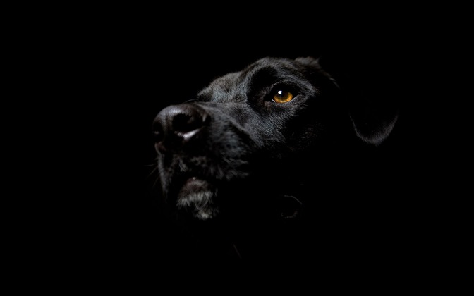 High-resolution desktop wallpaper Noir-esque Dog by Canada