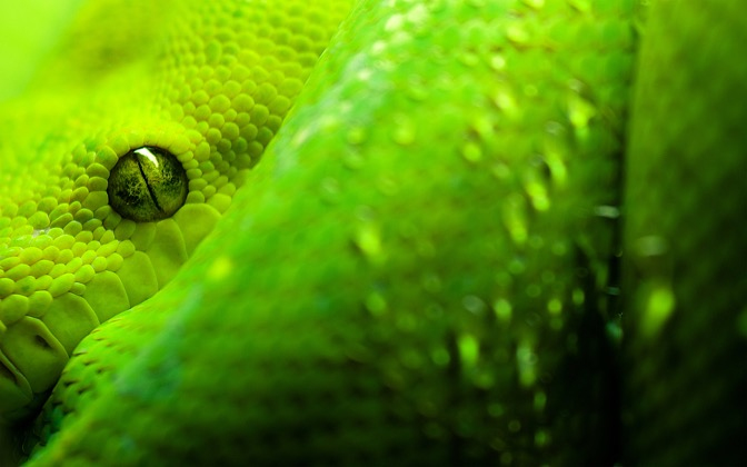 High-resolution desktop wallpaper Morelia Viridis by Grimnar