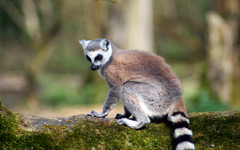 High-resolution desktop wallpaper Ring-Tailed Lemur by Mike Roth