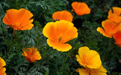 High-resolution desktop wallpaper Golden State Poppies by bfisher