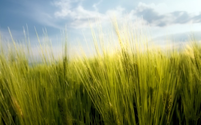 High-resolution desktop wallpaper Spring wheat by Alexander Kirichev