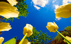 High-resolution desktop wallpaper Tulip Race by Dominic Kamp