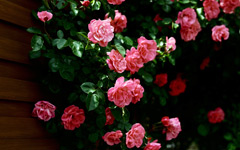High-resolution desktop wallpaper Roses by altmann