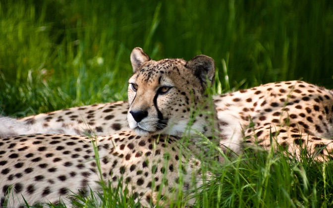 High-resolution desktop wallpaper Cheetah Beauty by FotoFelix