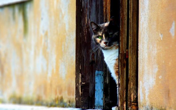 High-resolution desktop wallpaper Venetian Cat by saturos