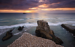 High-resolution desktop wallpaper Muriwai Gannet Colony by Chris Gin