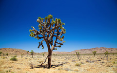 High-resolution desktop wallpaper Joshua Tree by Philippe Clairo