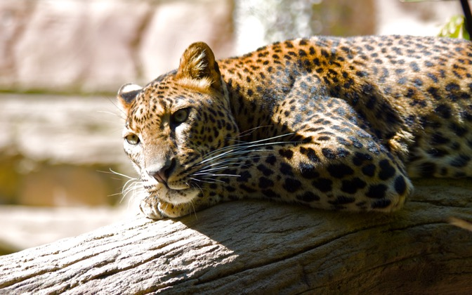 High-resolution desktop wallpaper Lazing Leopard by mrbreaker