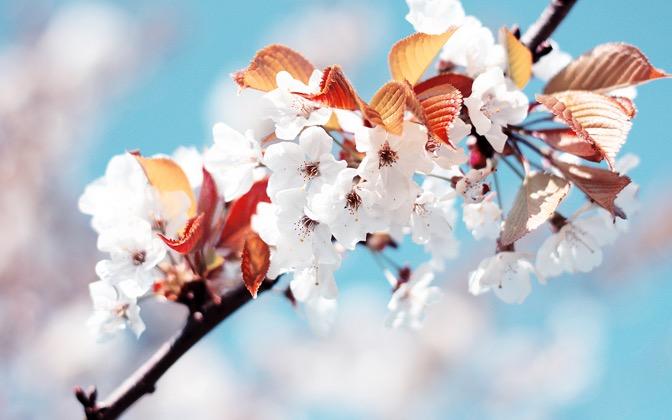 High-resolution desktop wallpaper Cherry Flowers by k. j. poulain