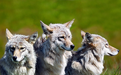 High-resolution desktop wallpaper Three Brother Wolves by andyflores