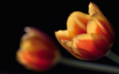 High-resolution desktop wallpaper Tulips by pepolino