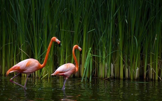 High-resolution desktop wallpaper Flamingos by Jestrella