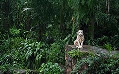 High-resolution desktop wallpaper White Tiger by om3ga