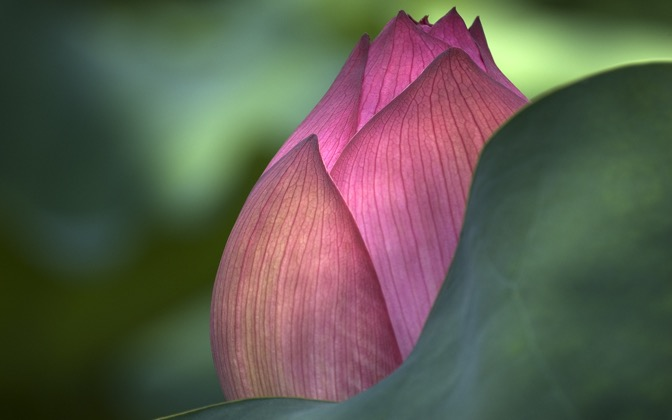 High-resolution desktop wallpaper Lotus Flower by FinalSortie