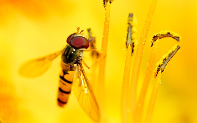 High-resolution desktop wallpaper Syrphid\'s Feast by Niels Strating