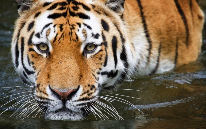High-resolution desktop wallpaper Bathing Tiger by uburoi