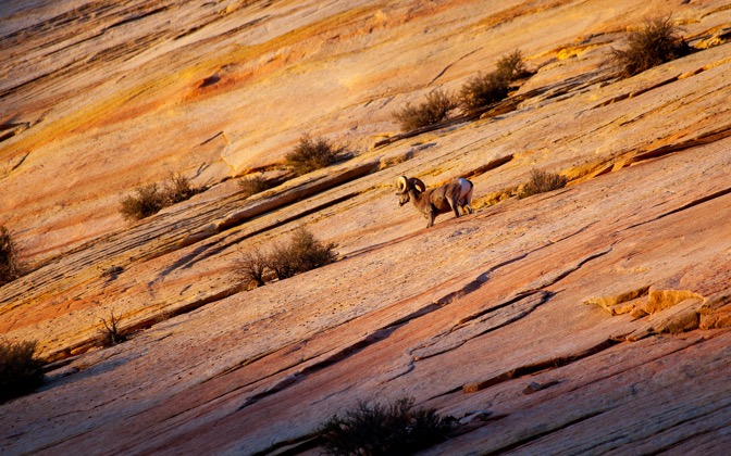 High-resolution desktop wallpaper Desert Bighorn by Philippe Clairo
