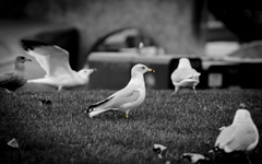 High-resolution desktop wallpaper Family of Gulls by lucasjungmann