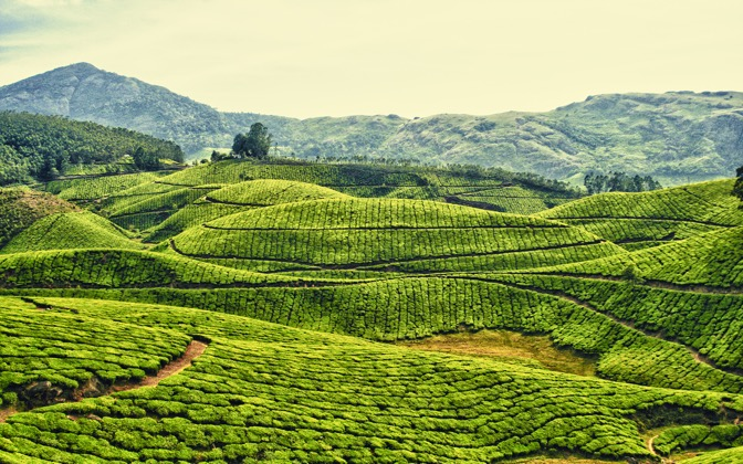 Tea Plantations in Kerala - India