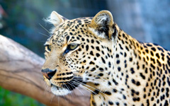 High-resolution desktop wallpaper Leopard Stare by mrbreaker
