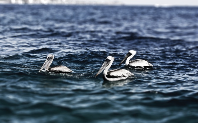 High-resolution desktop wallpaper Cabo San Lucas Pelicans by Skizz0tt