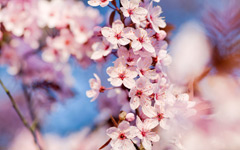 High-resolution desktop wallpaper Cherry Blossoms by TheWanderingSoul
