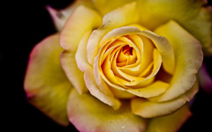 High-resolution desktop wallpaper Yellow Rose by Marc LECOCQ