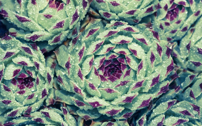 High-resolution desktop wallpaper Succulents and Raindrops  by Jessica Carpenter