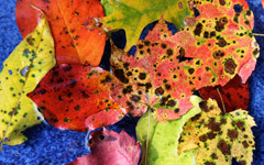 High-resolution desktop wallpaper Leaf Assortment by AndrewDaw