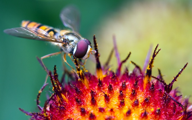 High-resolution desktop wallpaper Hover Fly at Work by Kolano