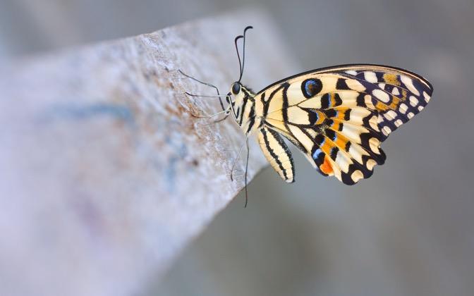 High-resolution desktop wallpaper Papilio Demoleus (Lime Butterfly) by cookzkie
