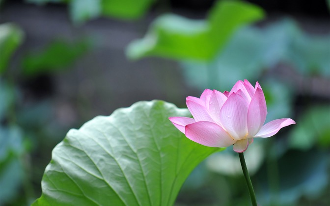 High-resolution desktop wallpaper A Pink in the Green by hhsin