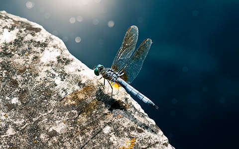 High-resolution desktop wallpaper Blue Dragonfly by Richteralan