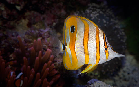 High-resolution desktop wallpaper Copperband Butterflyfish by dennt01