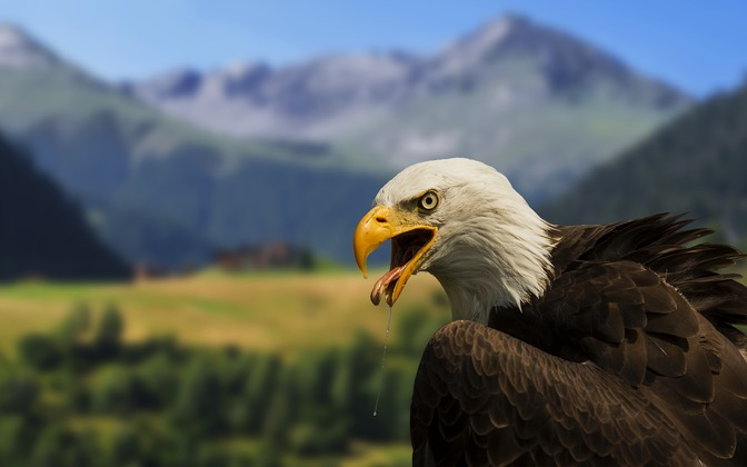 High-resolution desktop wallpaper Bald Eagle by Robin Kamp