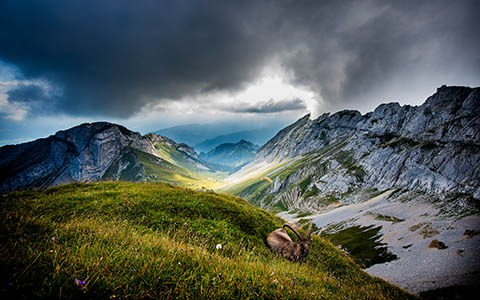 High-resolution desktop wallpaper Ibex at Mt Pilatus by Robin Kamp
