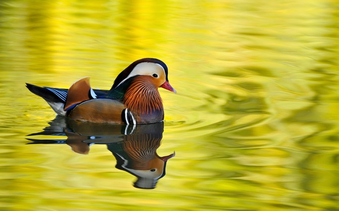 High-resolution desktop wallpaper Male Mandarin Duck by rennina