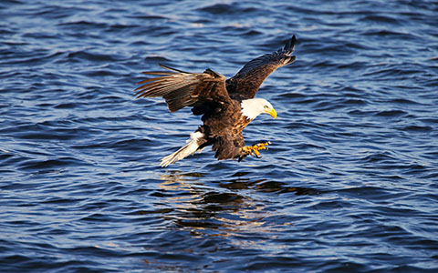 High-resolution desktop wallpaper Fishing Bald Eagle by kentJarrett