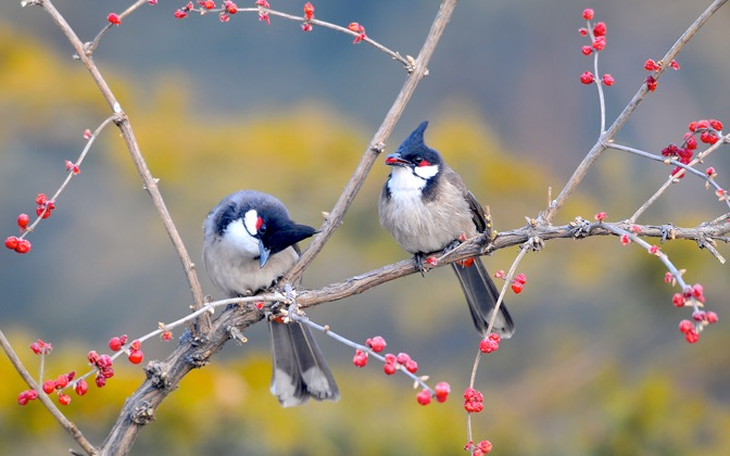 High-resolution desktop wallpaper Red-whiskered Bulbuls by rennina