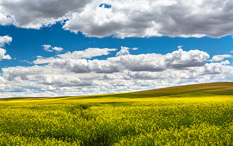 High-resolution desktop wallpaper Palouse Canola by Robert Bynum
