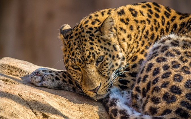 High-resolution desktop wallpaper Leopard by UAEmirates