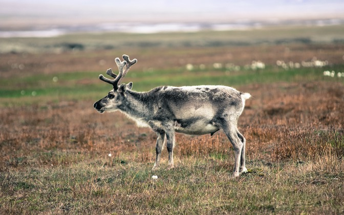 High-resolution desktop wallpaper Svalbard reindeer by areworb