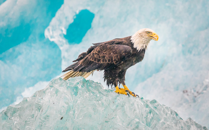 High-resolution desktop wallpaper Eagle on Iceberg - Alaska by anthonyhayward89
