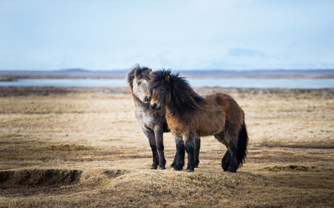 High-resolution desktop wallpaper Icelandic Horse by Robin Kamp