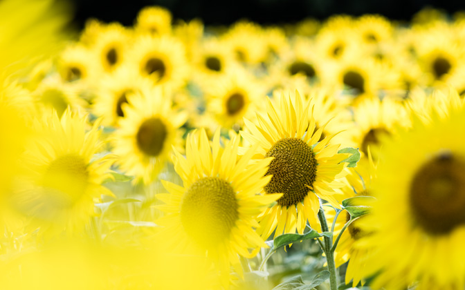 High-resolution desktop wallpaper Tournesol by giel