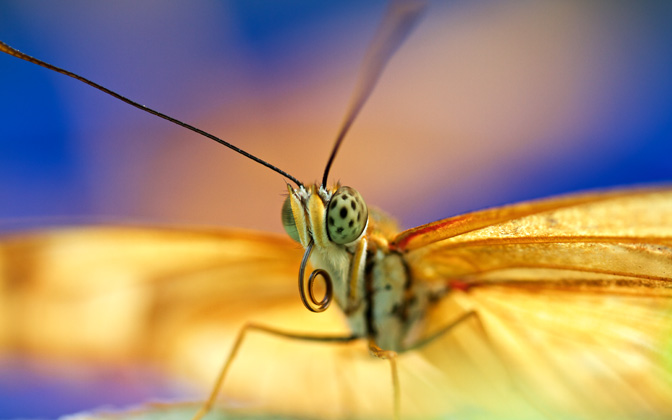 High-resolution desktop wallpaper Butterfly by Niels Strating